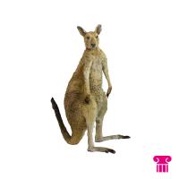 Kangaroe opgezet